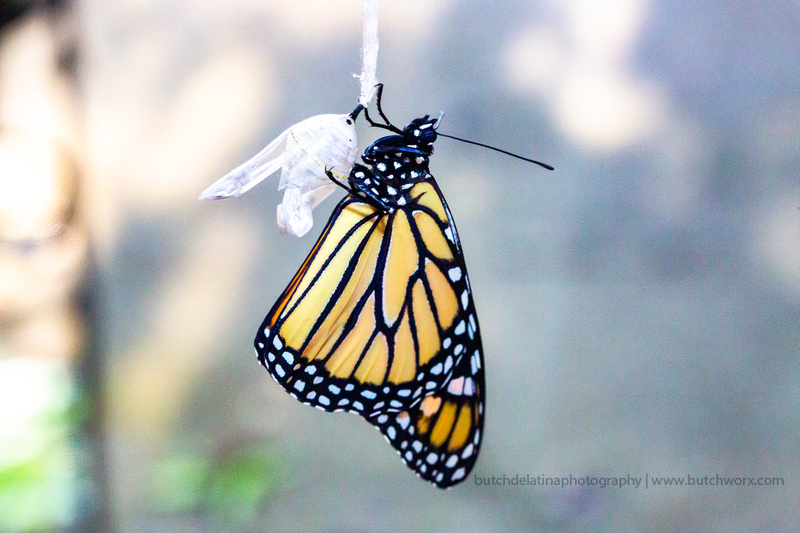 2019 May Robinson-0822 Monarch Butterfly-EC4A4576