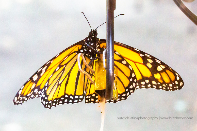 2019 May Robinson-0822 Monarch Butterfly-EC4A4635